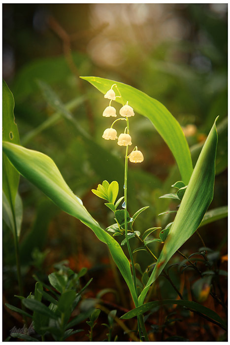 Magical, Lily of the Valley, Russian Federation